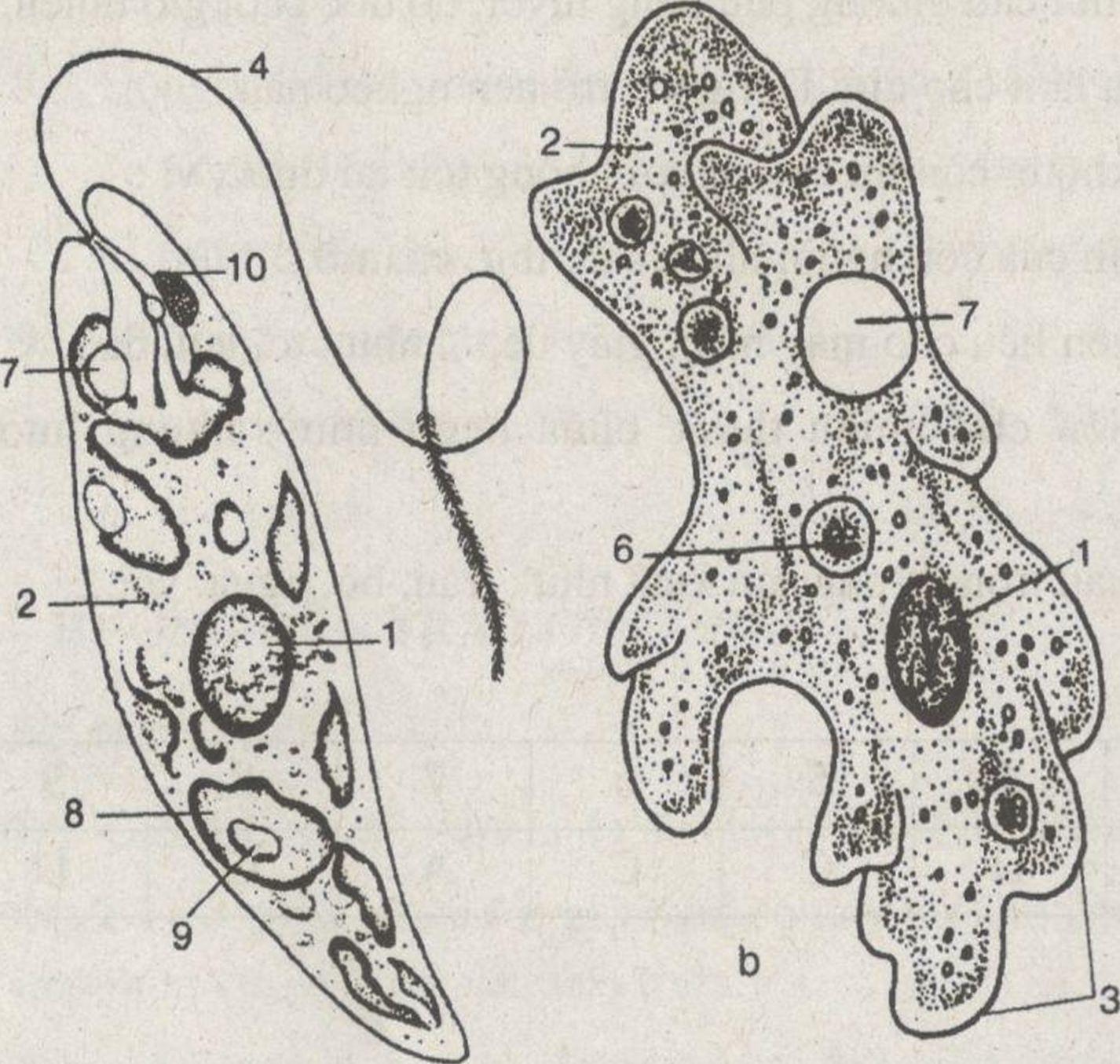 Kết quả hình ảnh cho Nêu đặc điểm chung của Động vật nguyên sinh.